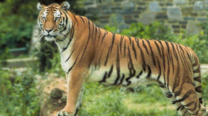 40++ Gambar hewan harimau sumatera terupdate